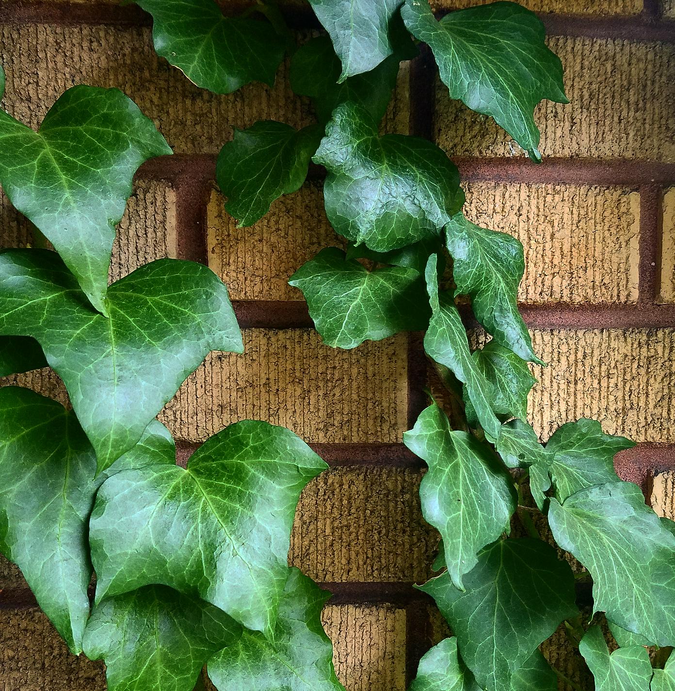 yellow bricks yellow brick home English Ivy Ivy growing on bricks