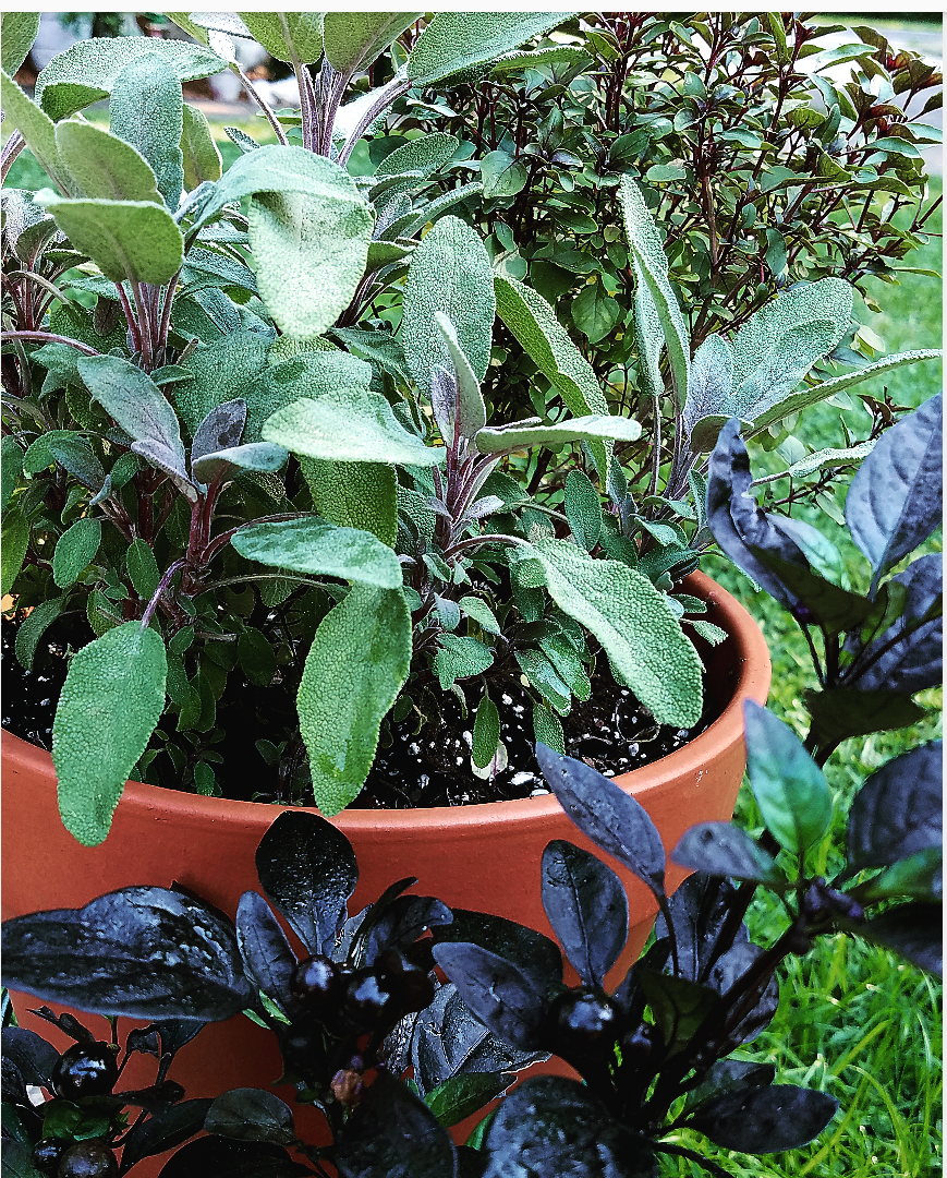 Beautiful container garden with herbs and ornamental black pepper plant