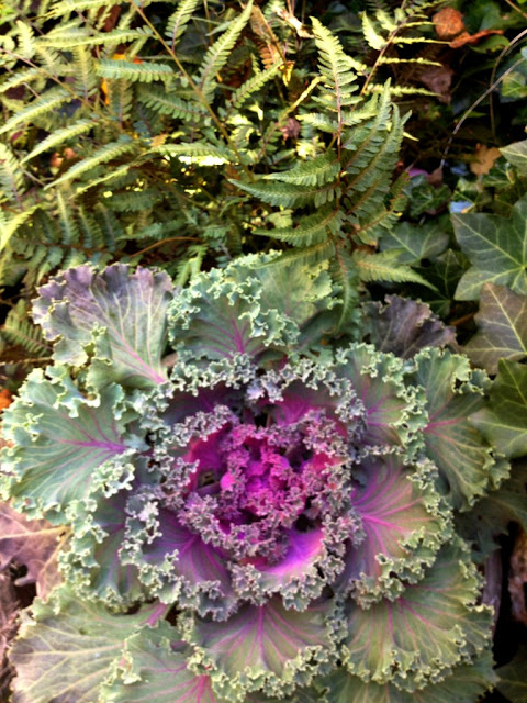Autumn Kale and Japanese Ferns Fall Plants combinations