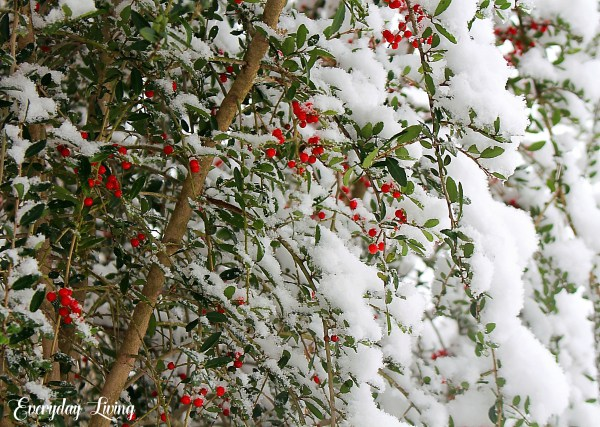 Lovely snow on holly bush snow photography