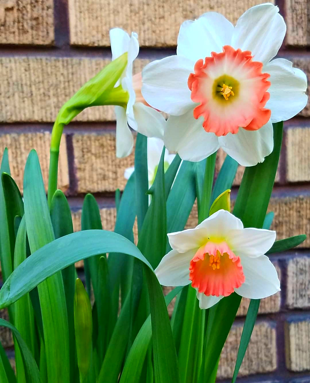 Gorgeous Pink Charm Daffodils