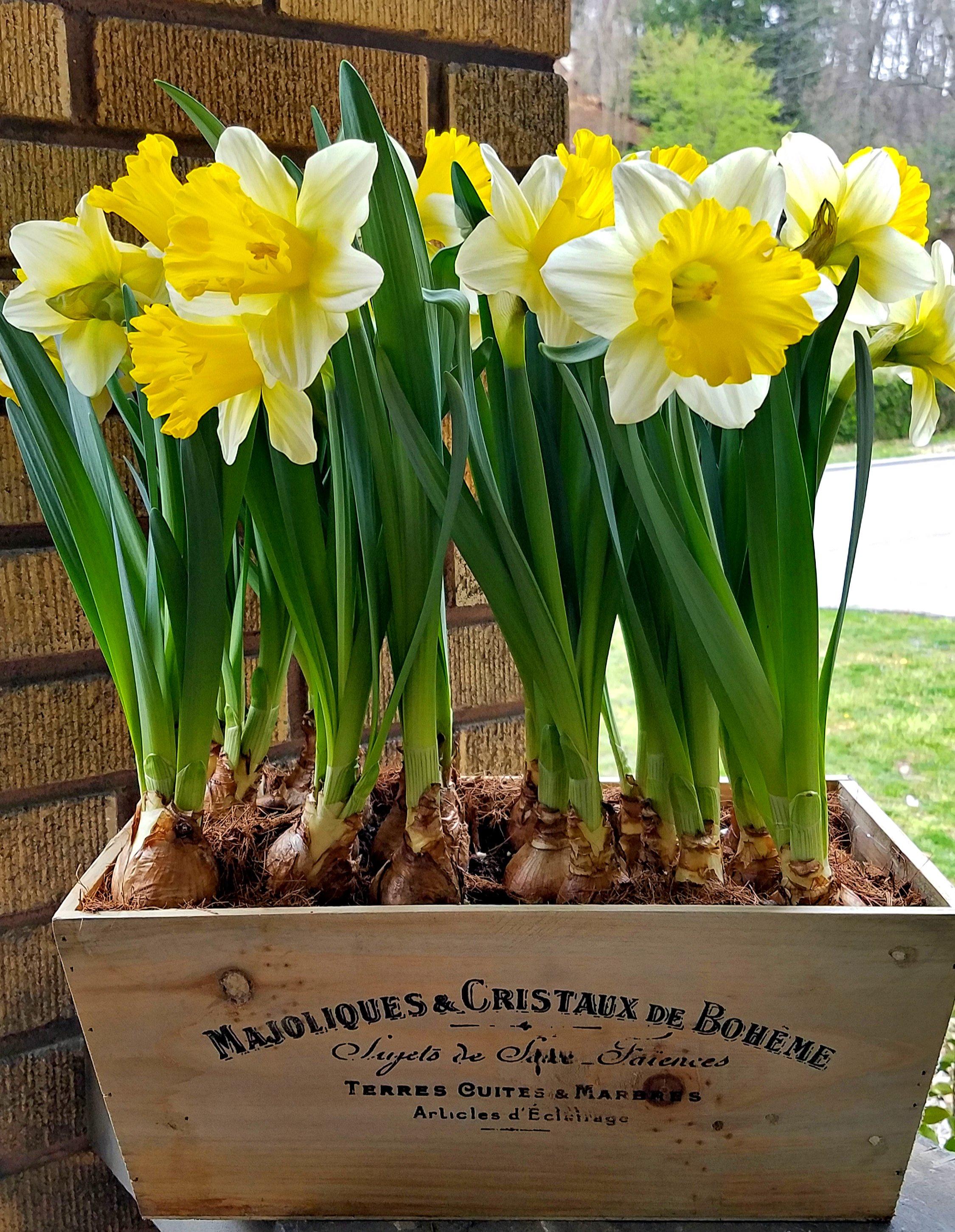 Beutiful Daffodil bulbs in French wooden box