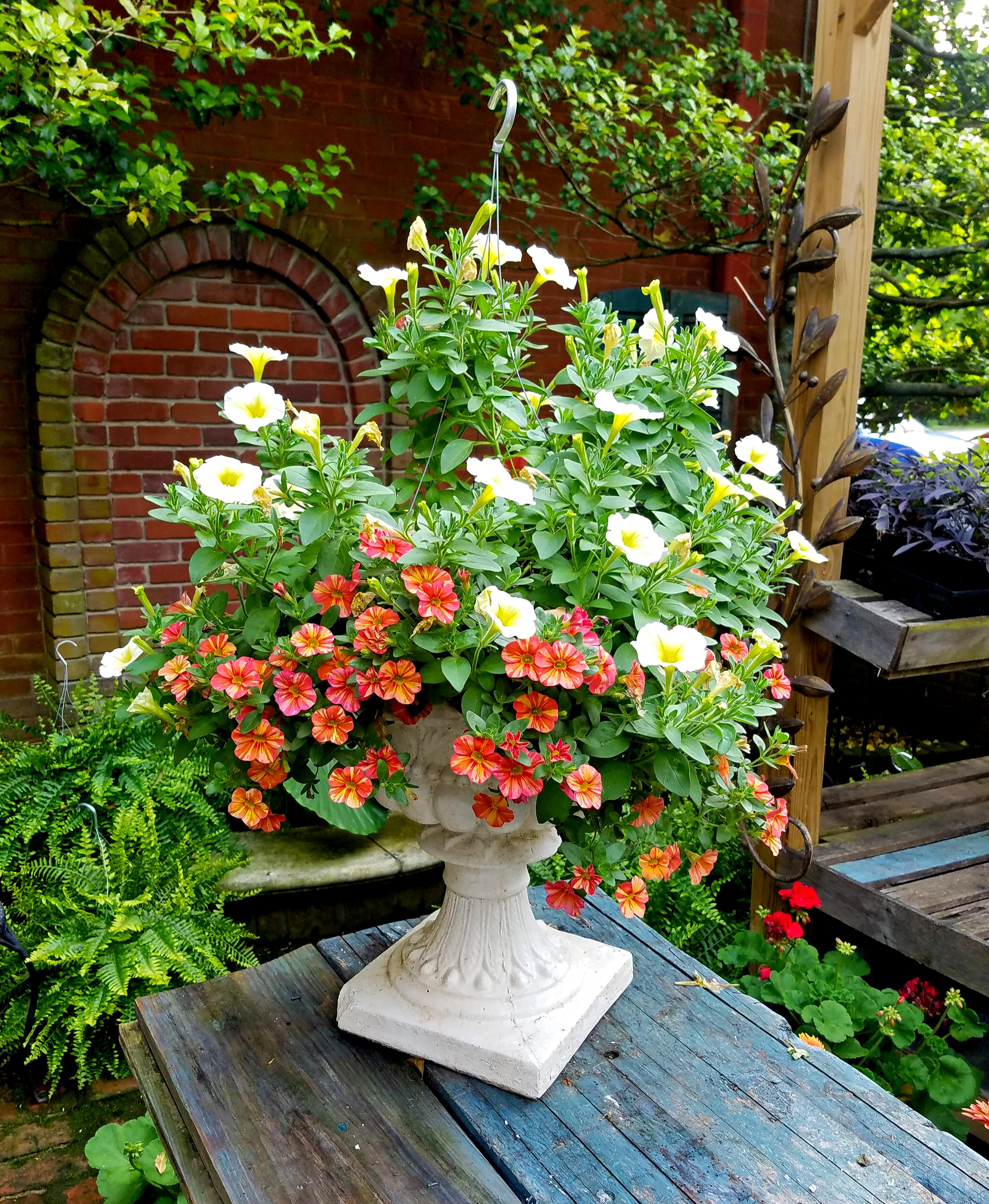 Beautiful supertunias in urn