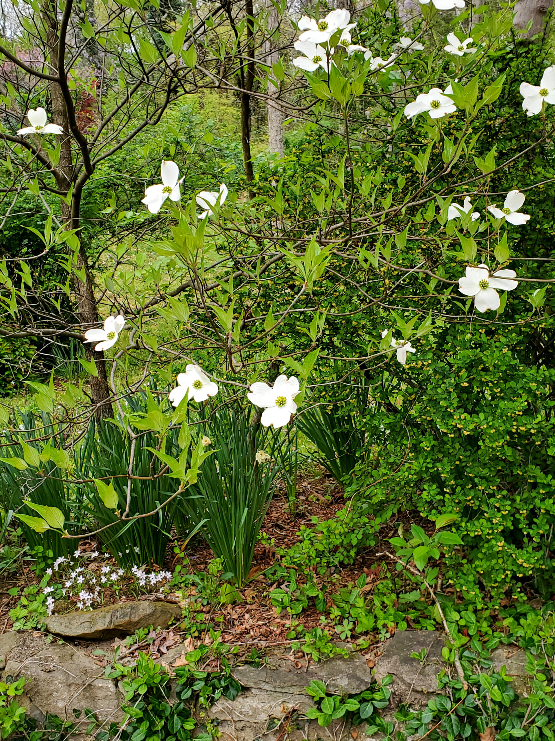 Easter Dogwood Blooms