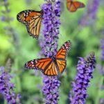Butterlies on lavender plant