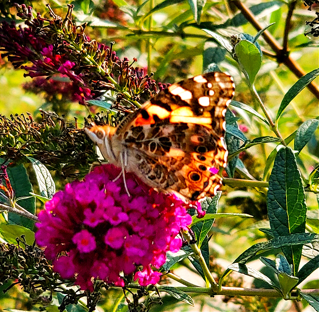 Painted lady on a butterfly bush flower