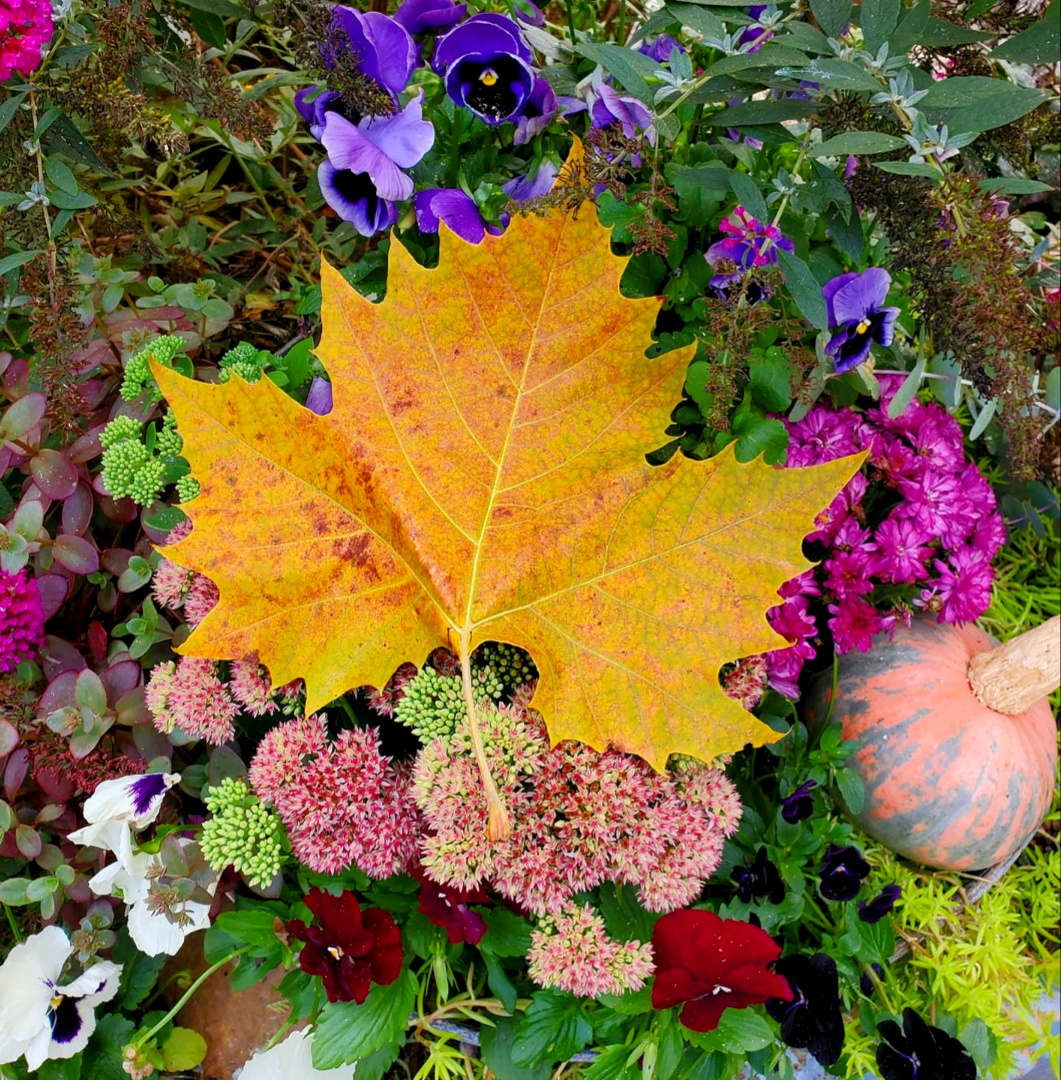 gorgeous fall leaf on a container of fall flowers mums, pansies, sedum and pumpkns