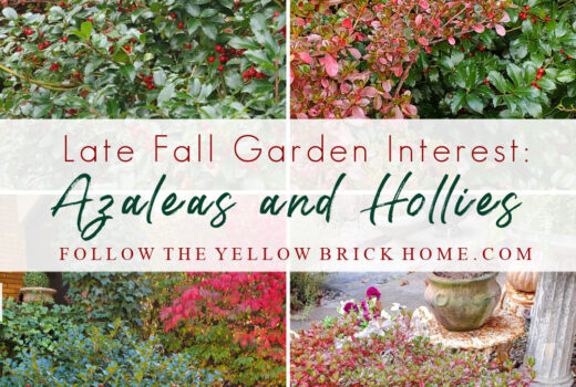 Late fall and winter garden interest azaleas and hollies