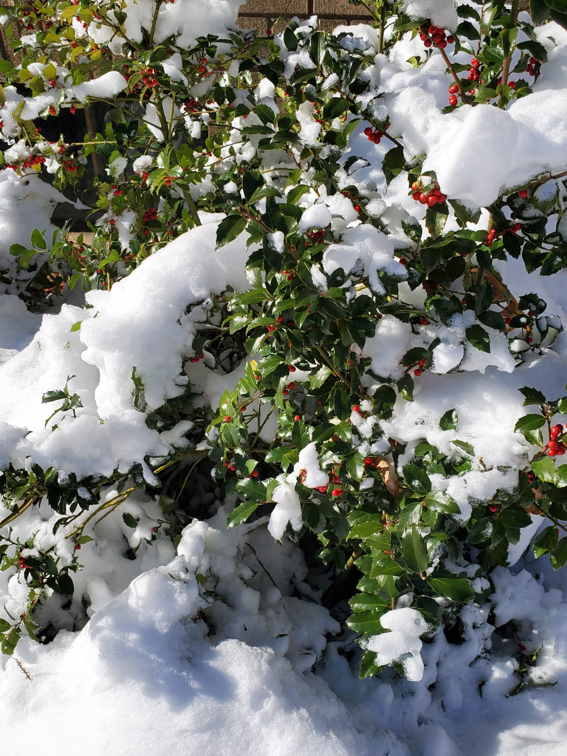 winter garden snow garden holly with snow