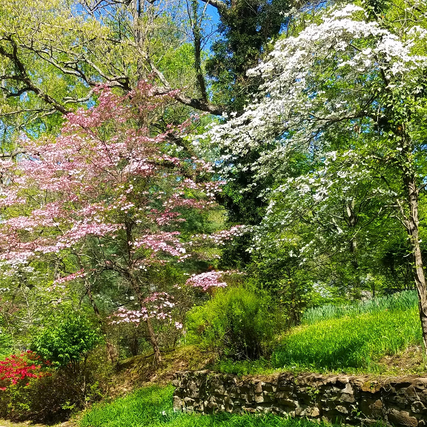 dogwood trees blooming in spring Kentucky spring dogwood trees