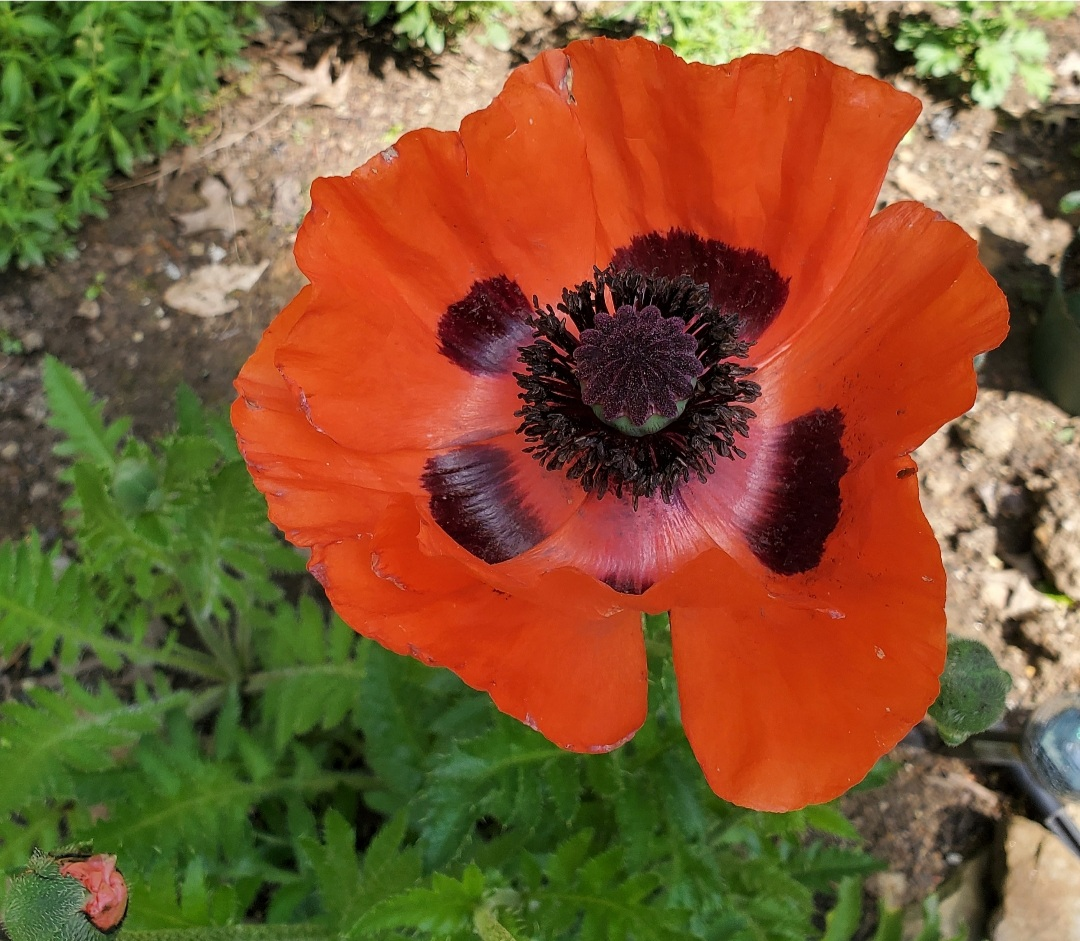 grow poppies from seed beautiful red poppy spring cut flower