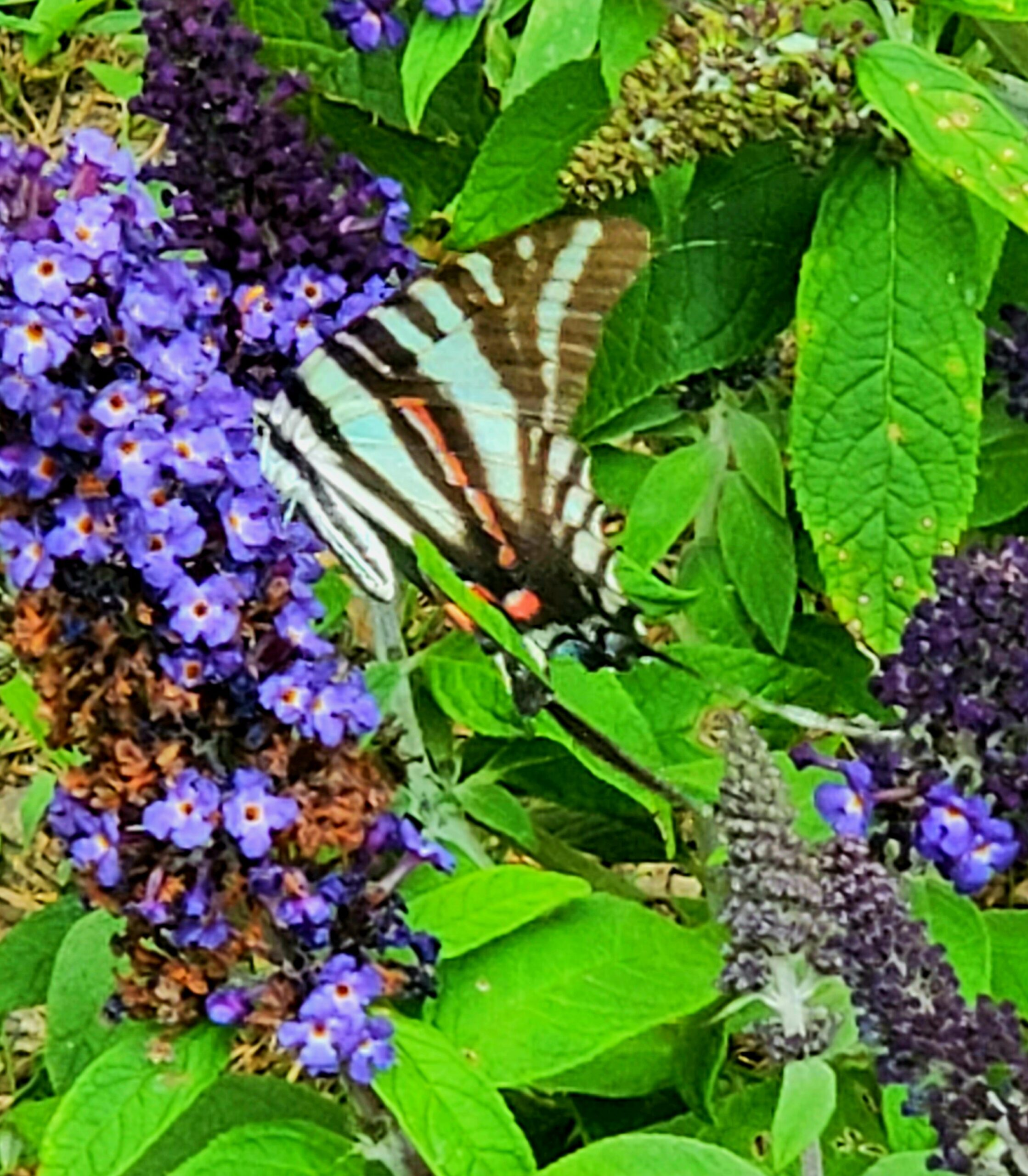 zebra swallowtail on drawf butterfly bush